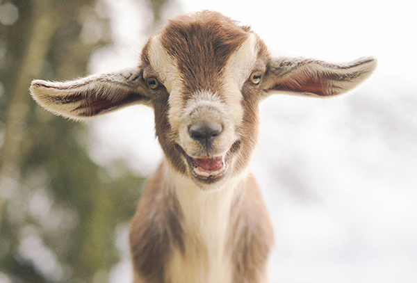 This goat kid isn't kidding, he wants you to smile!