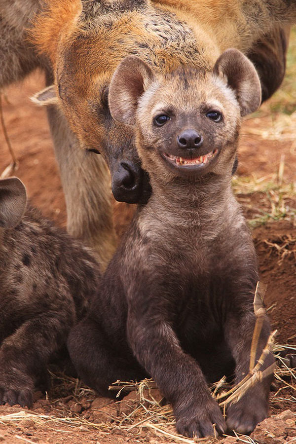 What a humorous hyena!
