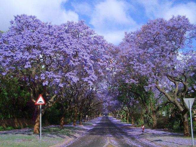 07 - Jacarandas Walk in South Africa