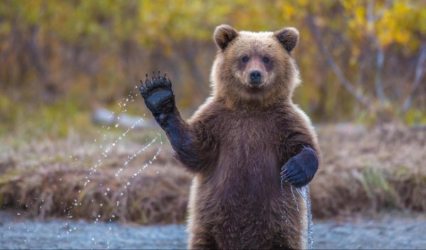 16. A bear waving hello.