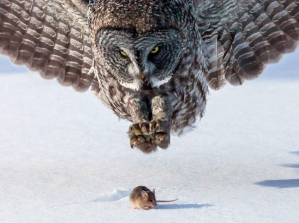 1. An owl about to catch a mouse.