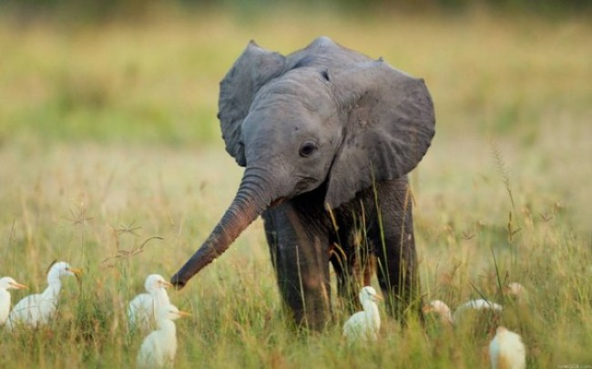12. A baby elephant frolicking with birds.