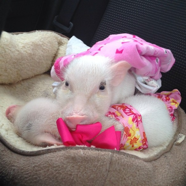 Meet Priscilla The Cutest Pig In The World