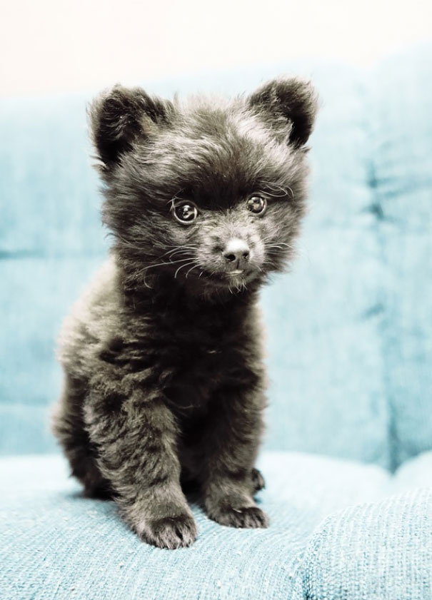 Most Inspiring Poodle Chubby Adorable Dog - chubby-puppies-bear-cub-look-alikes-20__605  Trends_607293  .jpg?w\u003d662