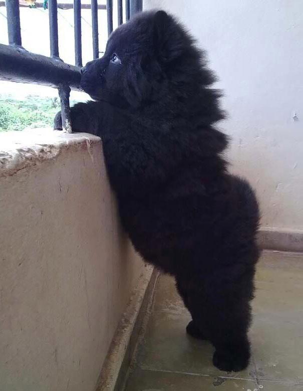 Good Poodle Chubby Adorable Dog - chubby-puppies-bear-cub-look-alikes-24__605  HD_20452  .jpg?w\u003d662