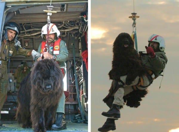 These Newfoundland Dogs Help The Italian Coast Guard Save