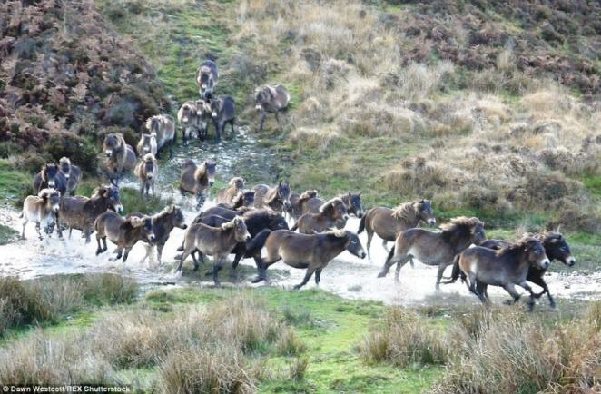 Wild Exmoor Pony Brought Back From The Brink Of Death By