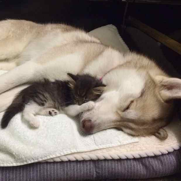 Huskies That Saved Kitten's Life Are Now Raising Her As One Big Fluffy Family
