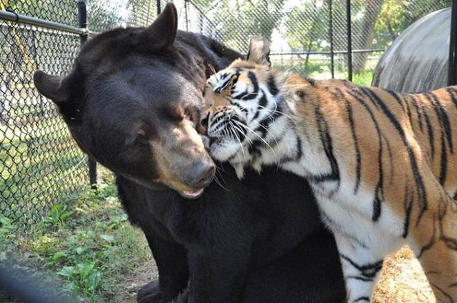Bear Lion And Tiger Have Been Best Friends For Years After - Lion tiger bear best friends