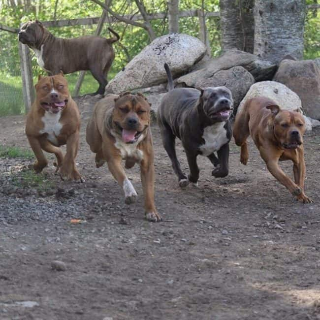 This Is How Much The World S Largest Pitbull S Puppies
