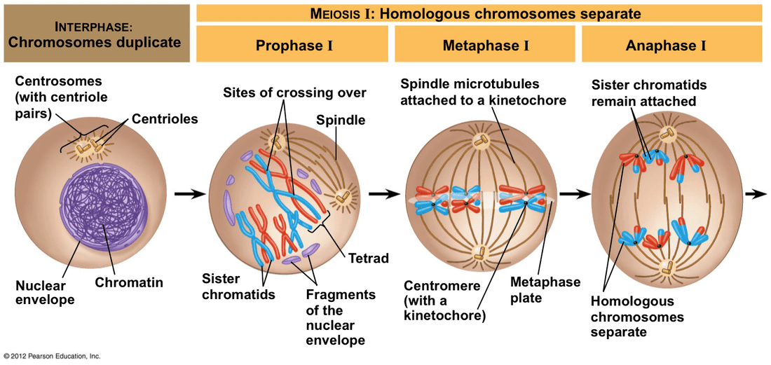 meiosis 1 diagram 2003 silverado bose radio wiring standard 3 2 genetic variation is increased by during fertilisation gamete from each parent combines to form a zygote because of recombination and