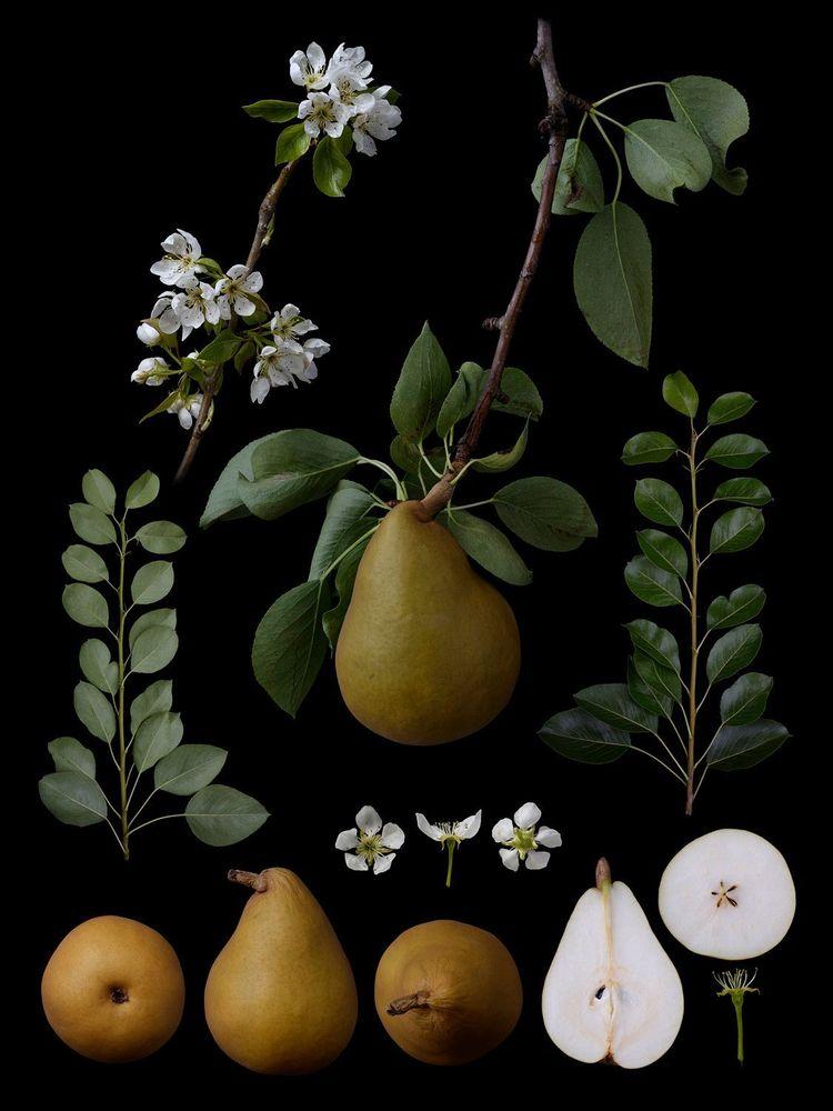 """Pyrus communis L. """"Nagy Bajnok"""". Ezeket a körtéket a gazdaságomban termesztik. Én is tenyésztő vagyok. Az általam tenyésztett új fajtákkal való összehasonlítás érdekében összeállítottam egy képet a fajta minden jellemzőjéről (virág és gyümölcs három oldala, keresztmetszete stb.), Amelyeket be kell nyújtani a növényi szabadalmi bejelentésben. Ez hasonlít a múlt botanikus művészetéhez. Fotó: © Masumi Shiohara"""