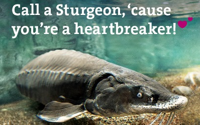 sturgeon, breaking my heart, fish pun