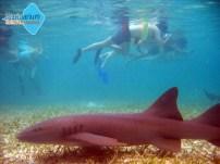 Svøm med fredelige nurse sharks