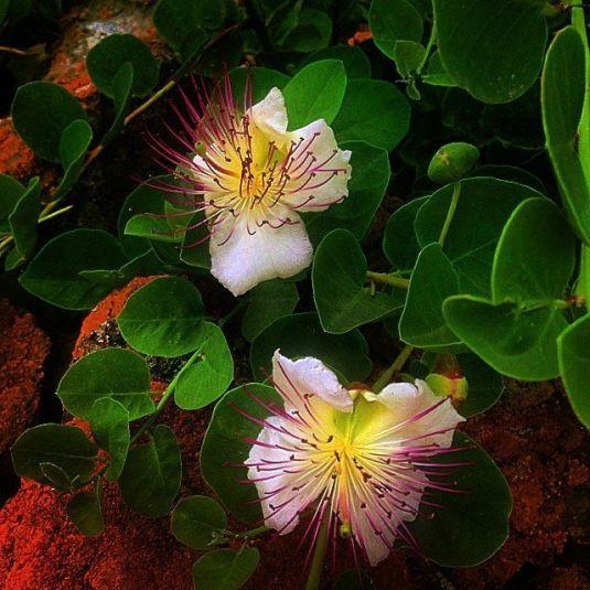 i bellissimi fiori di cappero