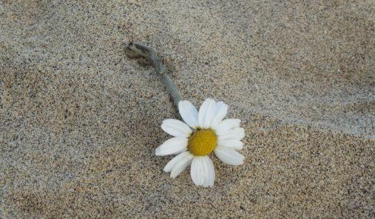 Sii il viaggiatore... una margherita in spiaggia