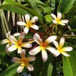 fiori di monoi