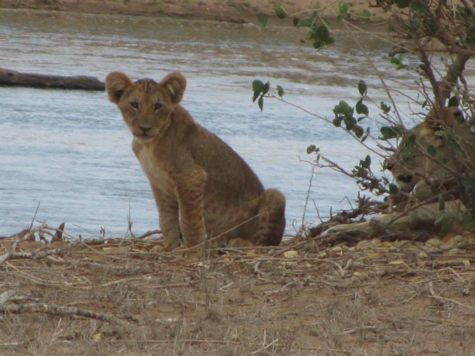 cucciolo di leone (riserve e safari in kenya)