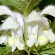 Lamium Album Flower