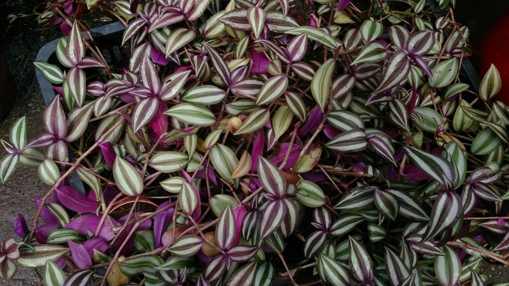 Are Wandering Jew Plants Dangerous To Your Dogs?