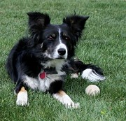 Border Collie Lucy