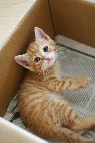 orange-tabby-kitten-in-box