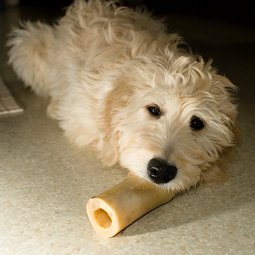 white-poodle-with-a-bone