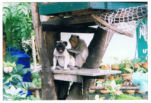 Cute funny Pug dog and monkey - You sure there's no phone number on my tag