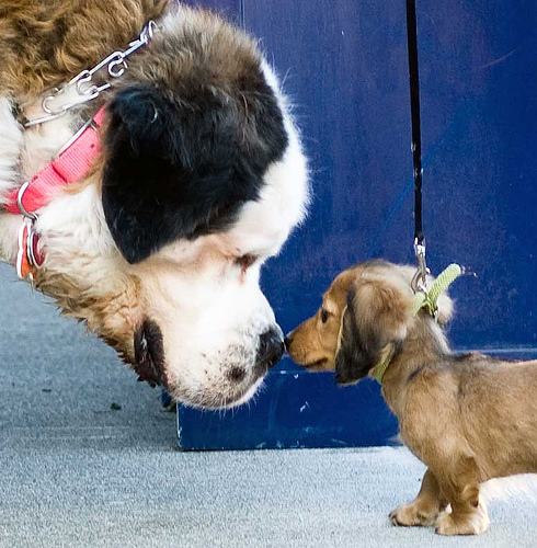 Cute funny Saint Bernard Dog and Longhaired Dachshund Puppy - Did you bring me your lunch money like you promised