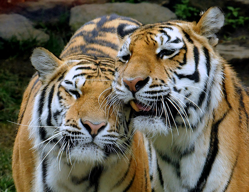 Cute funny tigers - What do you say we go back to my cave and try to get ourselves off the endangered list
