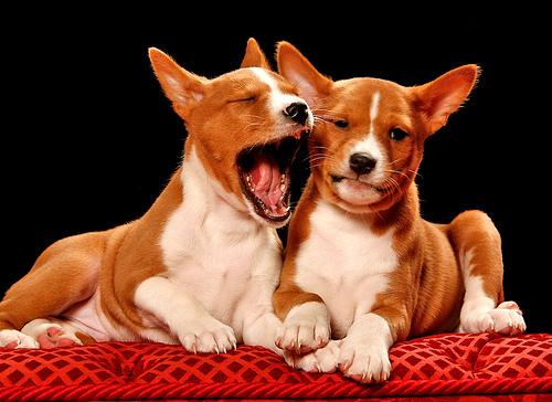 Basenji puppy yawning