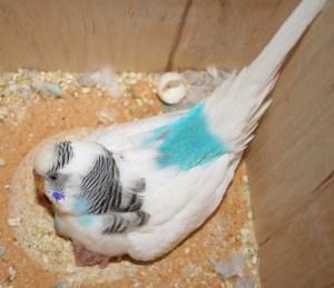 Parakeet Hen in Nest