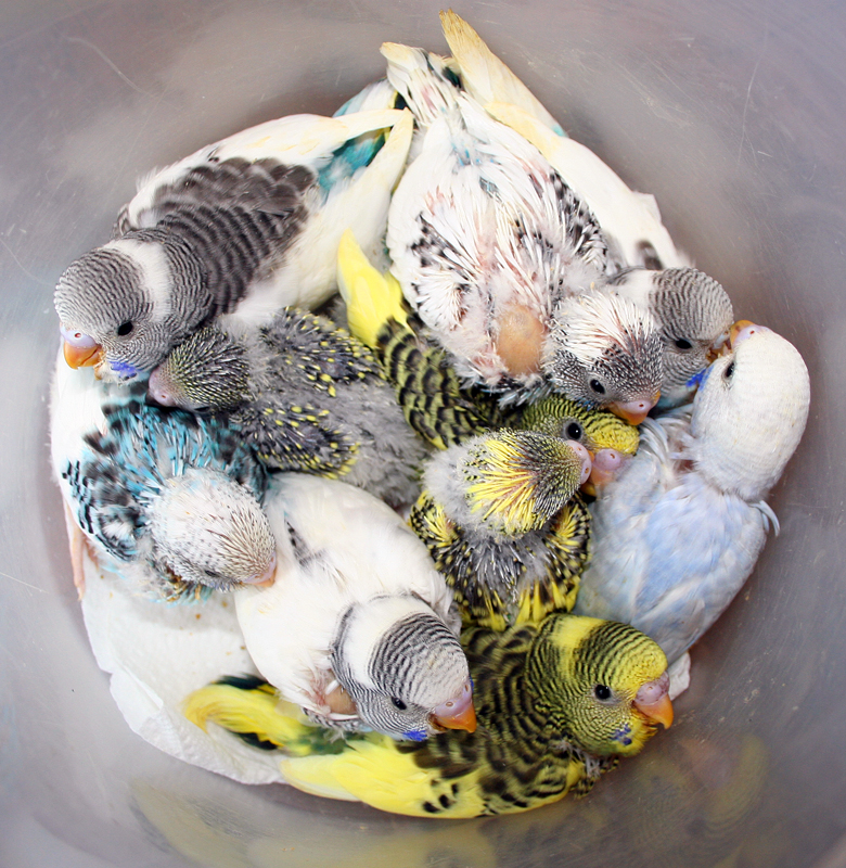 budgie parakeet baby pictures 2010 round 1 � puppies are