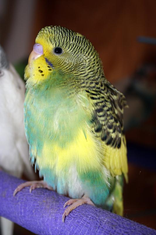 Whipper the Mutant Parakeet - Ur Parrot