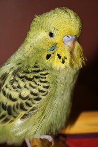 Gray-green opaline baby English Budgie