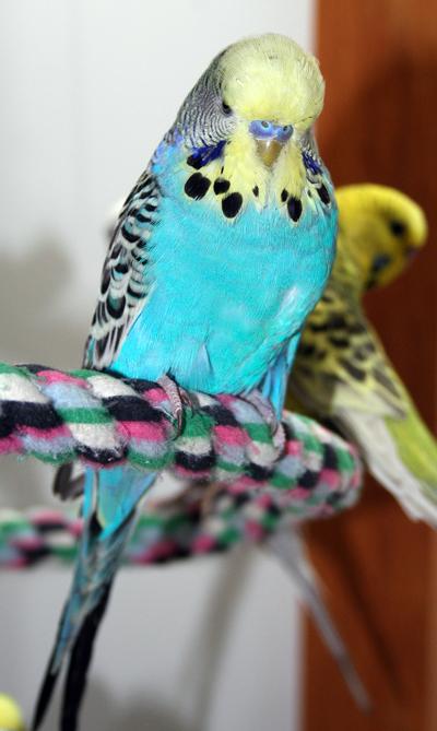 parakeet colors - photo #36
