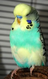Dominant Pied (single factor) yellow face type 2 skyblue English budgie