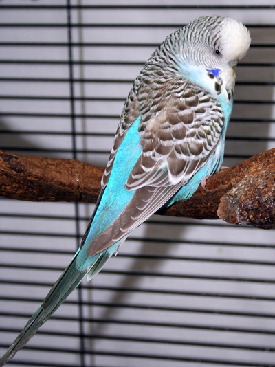 Budgie Parakeet Colors, Varieties, Mutations, Genetics