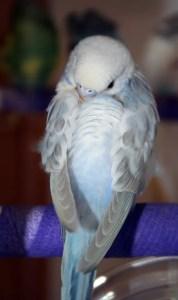 Dilute blue opaline American parakeet