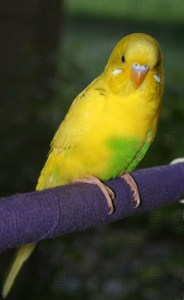Recessive Pied light-green American Parakeet