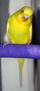 Lutino American parakeet (solid yellow with red/pink eyes)