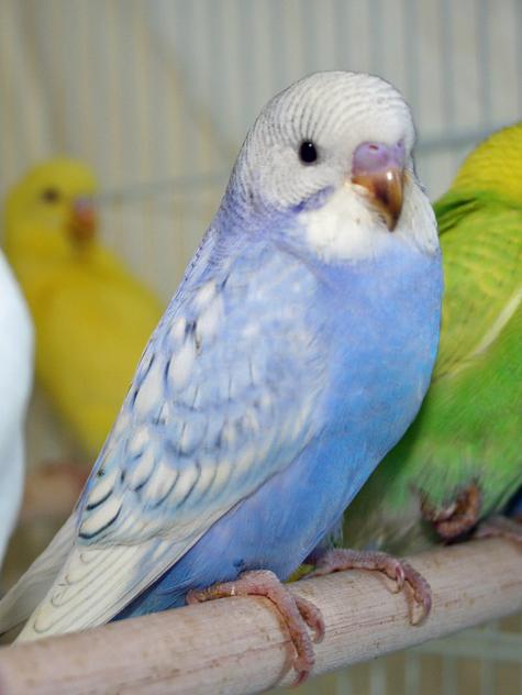 Budgie Parakeet ...Yellow Green Parakeet
