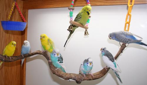 parakeet colors - photo #27
