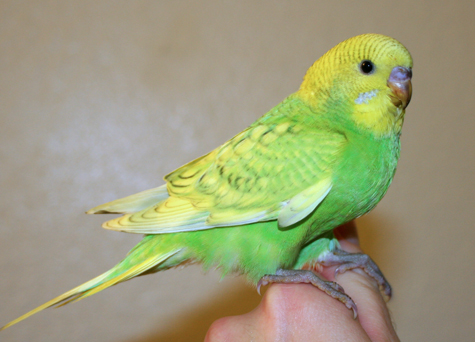 parakeet colors - photo #26