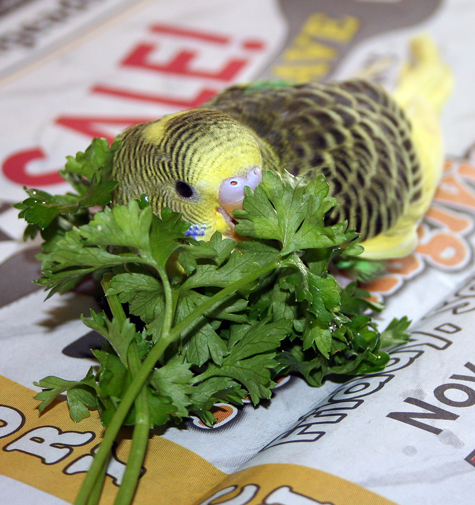 Budgie parakeet food and feeding recommendations how to encourage your budgie parakeet to eat new foods forumfinder Gallery