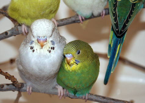 Budgie Parakeet Questions & Answers (FAQ)
