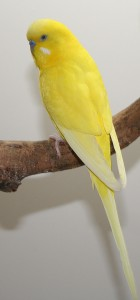 Double Factor Spangle English budgie
