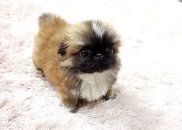 Micro Tea cup Pekingese Puppy