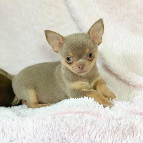 miniature-chihuahua