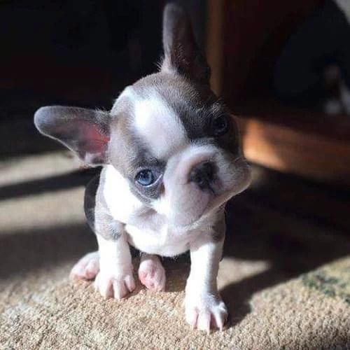 small-guard-dogs-boston-terrier